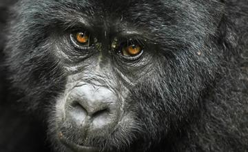 Rwanda gorillas in volcanoes np