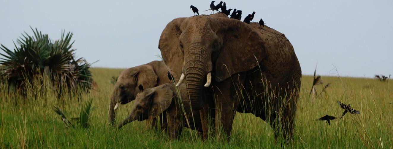 elephants-murchision-falls