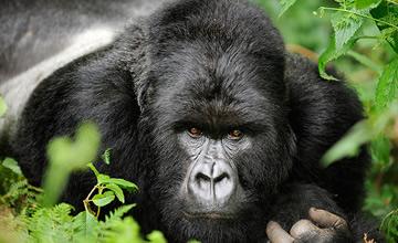 silverback gorilla trekking