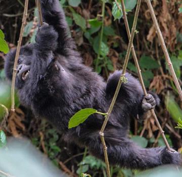 baby gorilla bwindi forest